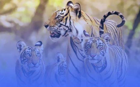 Apa itu pola asuh Tiger Parenting?