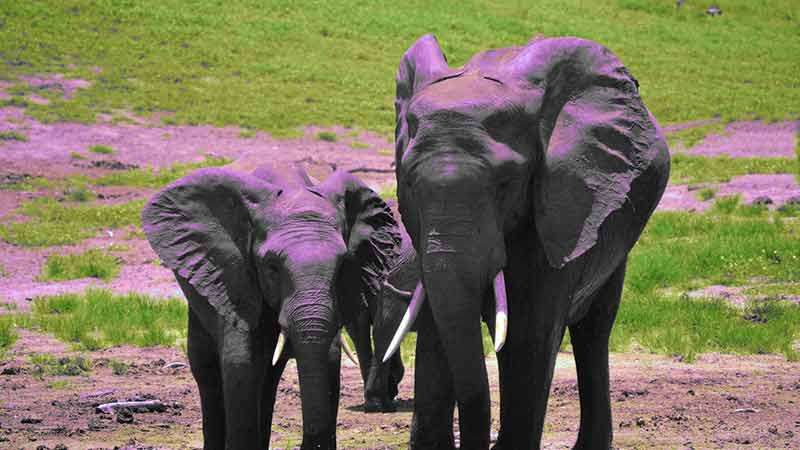 apa itu elephant parenting?